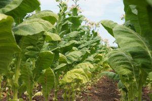 Plantation de tabac ©image Pixaby
